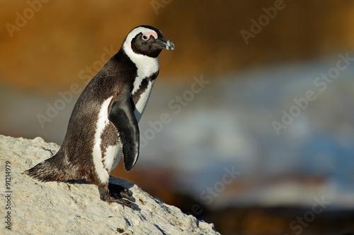 African penguin (Spheniscus demersus) on coastal rock, Western Cape, South Africa .