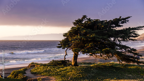Fotografija  Windswept cypress tree along the northern California coast