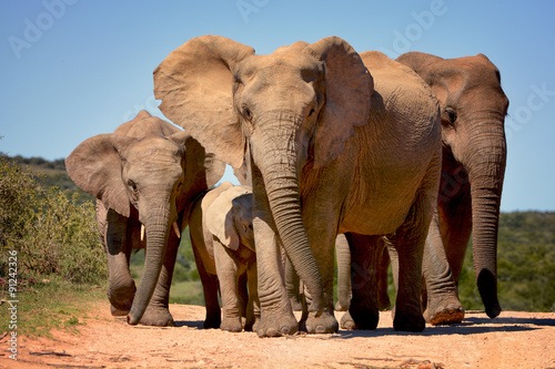 Deurstickers Zuid Afrika Elephants walking in Addo Elephant national park, South Africa