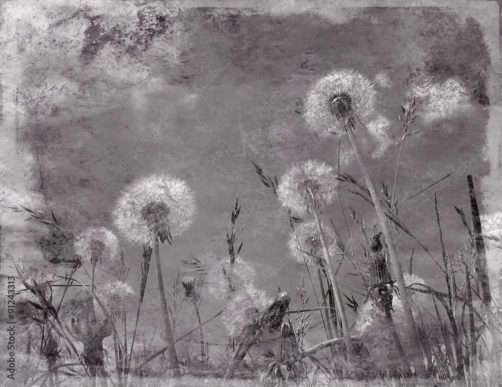 Fototapety, obrazy: Grunge effect applied to dandelion flowers