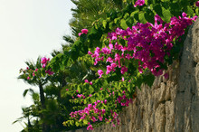 Bougainvillea Flowers On Stone...