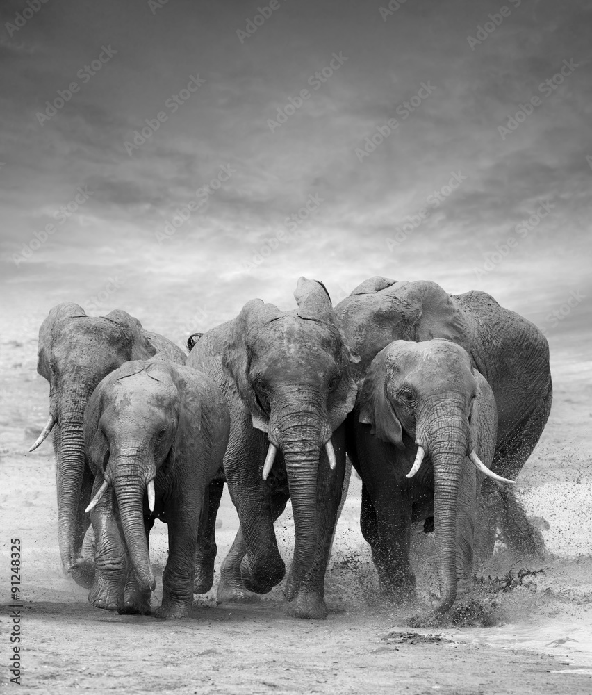 Stado słońi w czerni i bieli