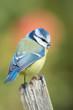 Leinwandbild Motiv Blaumeise - Ansitz