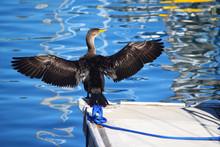 Cormorant Drying His Wings