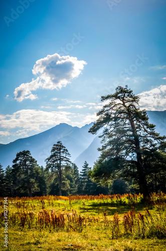 Fototapeta Caucasian pine in the field mountains in the background obraz na płótnie