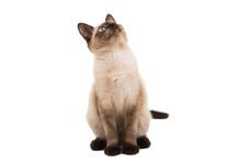 Siamese Cat Isolated