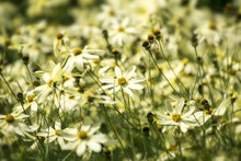 Tickseed Or Coreopsis Verticil...