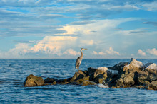 Great Blue Heron Looking Out O...