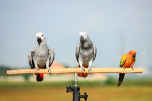 Close Up Of African Grey Parrot With Out Of Focus Foliage Backgr