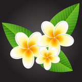 Plumeria white flowers on black background