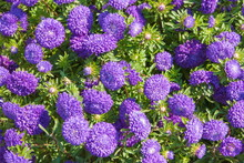 Bright Purple Asters Autumn Flowers In The Flowerbed