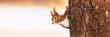 Leinwandbild Motiv Red Squirrel (Sciurus vulgaris) in winter