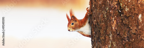 Staande foto Eekhoorn Red Squirrel (Sciurus vulgaris) in winter
