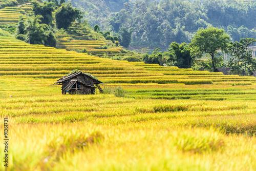 Fotobehang Zwavel geel Rice fields on terraced in rainny season at SAPA, Lao Cai, Vietn