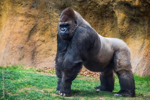 Photo sur Toile Singe Male gorilla.