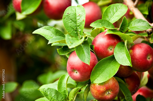 Organic red ripe apples on the orchard tree with green leaves Fotobehang