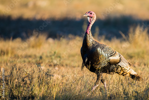Valokuva  Texas Turkey walking at sunset