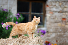 Red Cat Standing Outdoors