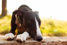 A Beautiful Whippet Dog Restin...