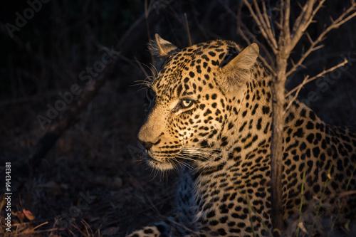 Obrazy na płótnie Canvas Leopard resting in the shade in the bush a night