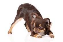 Brown Chihuahua Puppy Bows Down On White