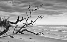 Dead Trees On The Beach In Latvia