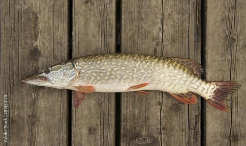 Fotografie, Obraz  Pike (Esox lucius) on a wooden deck