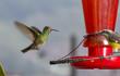 Colibri colirrufo