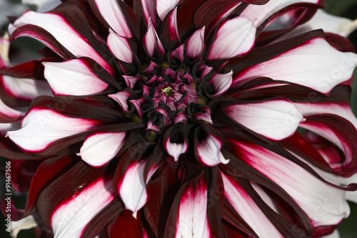 Poster de jardin Dahlia Dahlia closeup