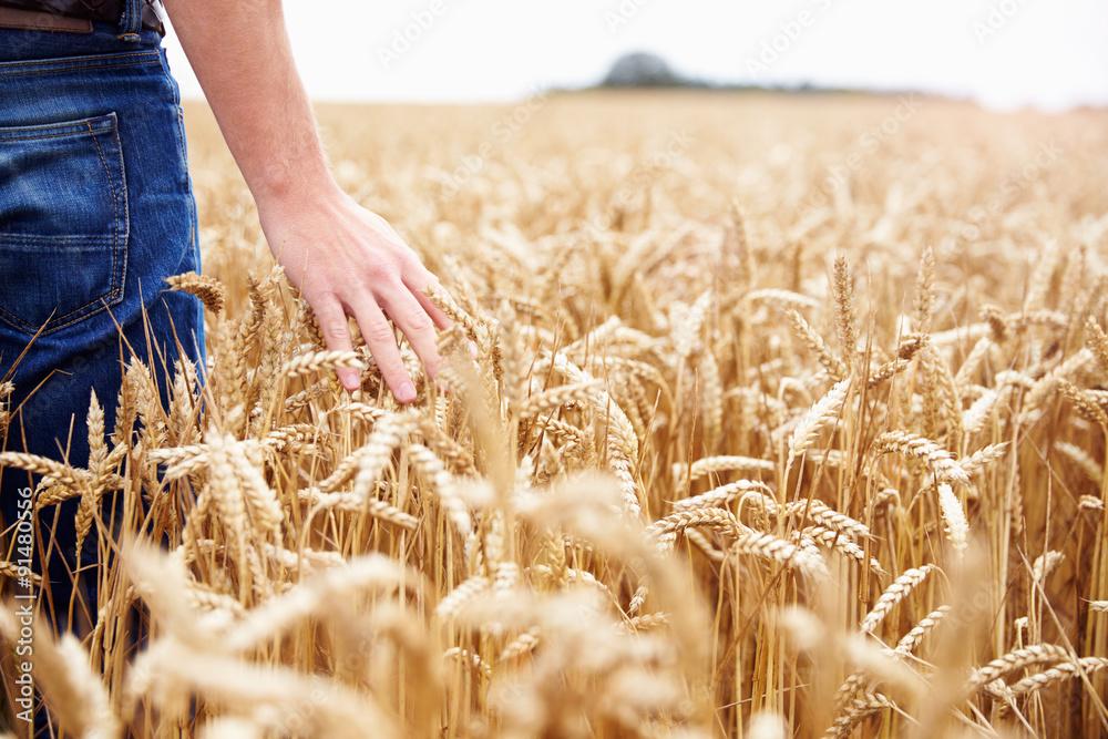 Fototapety, obrazy: Farmer Walking Through Field Checking Wheat Crop