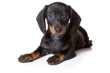 Dachshund Puppy Lying And Looking At The Camera (isolated On White)
