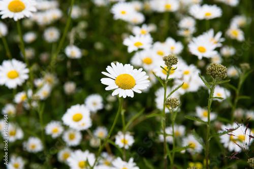 Foto op Canvas Madeliefjes daisy flower meadow