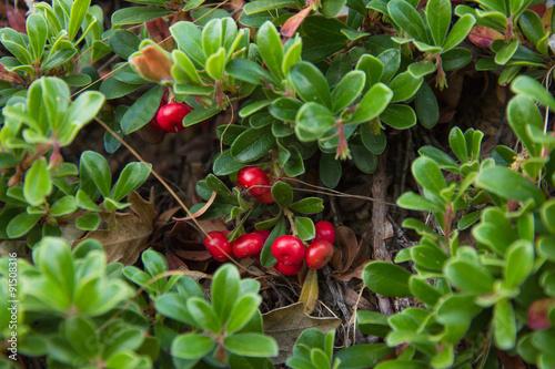 Fotografie, Obraz  Planta de Gayuba con los Frutos  de Color Rojo