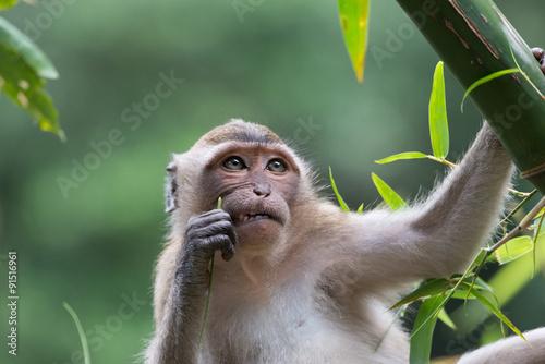 Photo Stands Monkey Aap in een boom (denkt na met een tandenstoker in zijn hand)