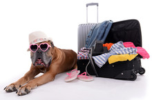 Beautiful Boxer Dog With Suitcases Isolated On White