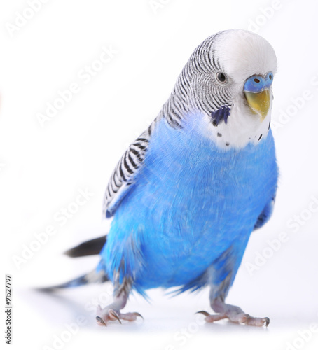 Autocollant pour porte Perroquets Budgerigar isolated on white