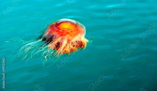 Valokuva  Orange Brown Jellyfish Reserrection Bay Alaska Sea Wildlife