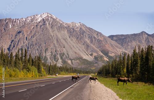 Fotografia, Obraz  Cow Moose leads Two Calves Across Road Near Denali Alaska