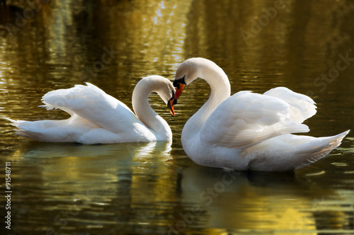 Poster Cygne Two swans bent necks in the form of heart