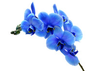 Blue Flower Orchid Isolated On...