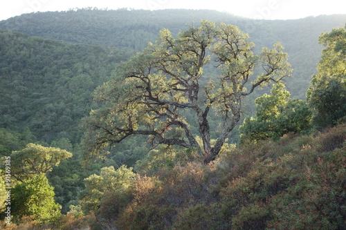 Fotografía  Vieux chêne liège surplombant la vallée du Préconil du massif des Maures dans le