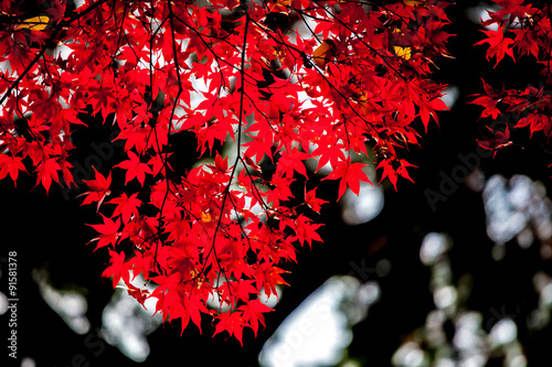 Photo  red japanese maple autumn fall , momiji tree in kyoto japan