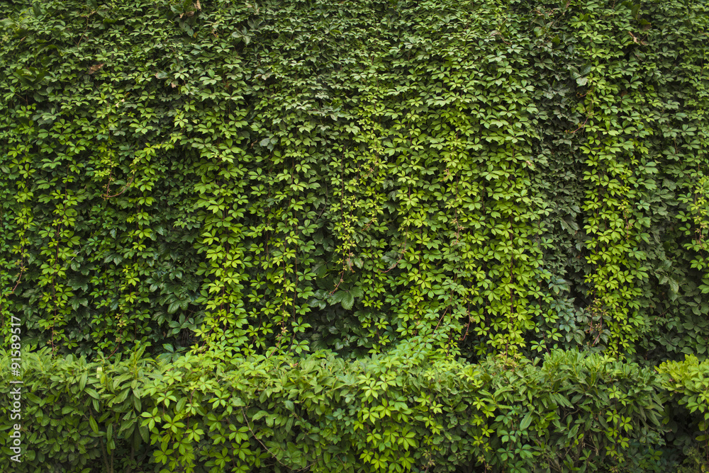 Fototapety, obrazy: Green ivy Background