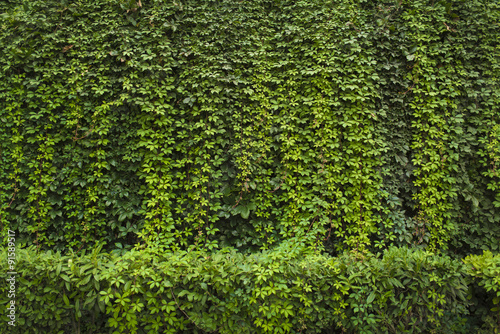 Obraz Green ivy Background - fototapety do salonu