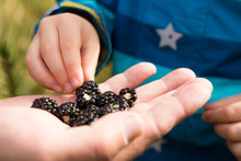 Child's Fingers Picking  Fresh Wild Blackberries From Adults Hand