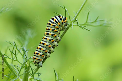 Cuadros en Lienzo  Machaon butterfly's caterpillar