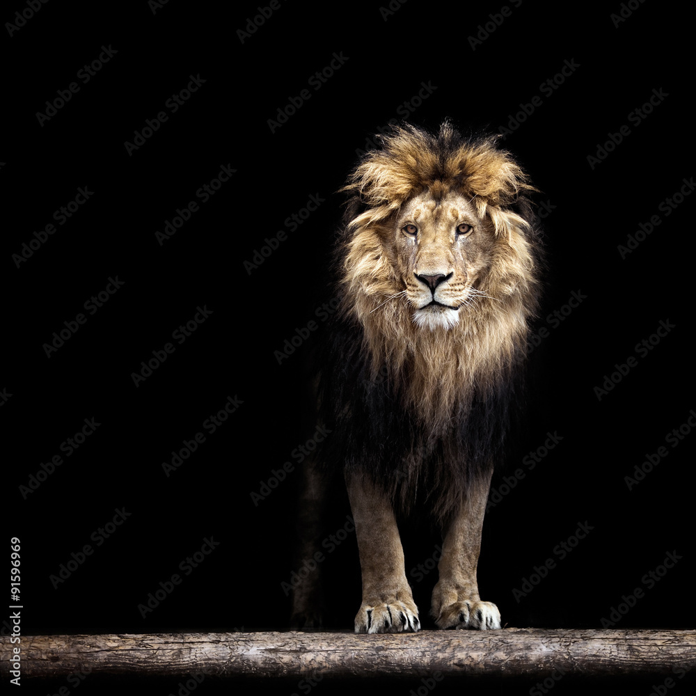 Fototapeta Portrait of a Beautiful lion, lion in the dark