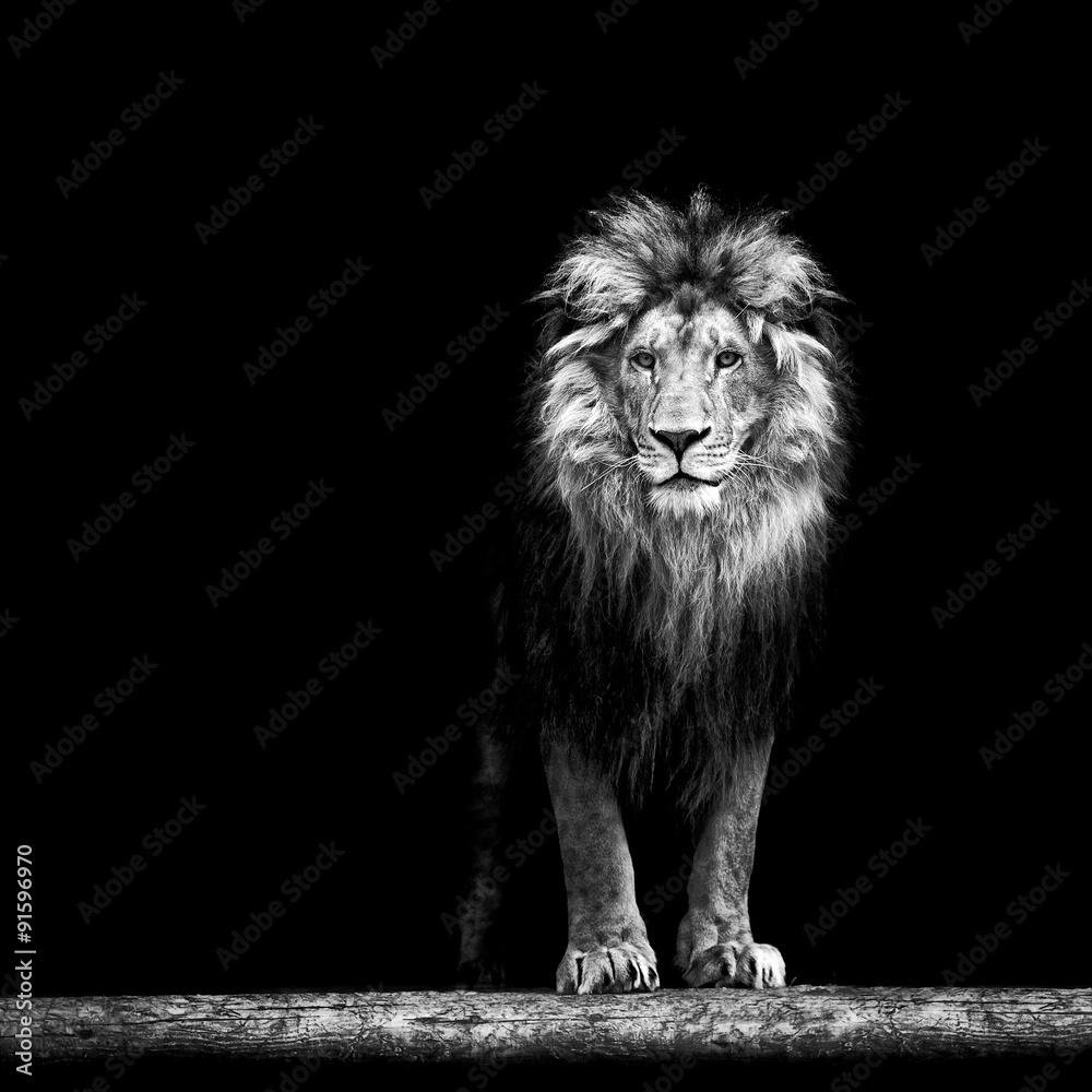 Fototapety, obrazy: Portret dostojnego lwa