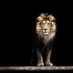 FototapetaPortrait of a Beautiful lion, lion in the dark
