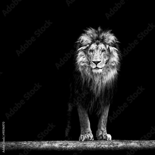Fototapeta Portrait of a Beautiful lion, lion in the dark obraz